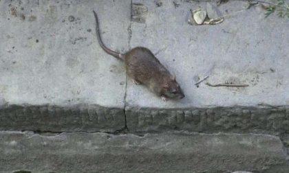 """Allarme topi a Rozzano: """"Necessario intervenire subito"""""""