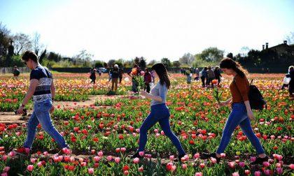 Campo di tulipani a Cornaredo | Via alla seconda edizione di Tulipani Italiani