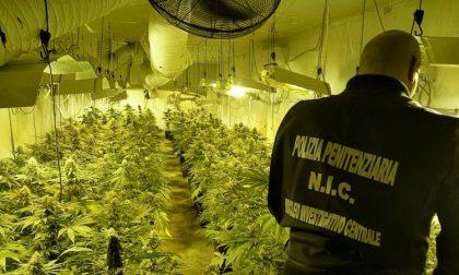 Scoperta piantagione di marijuana in un capannone a Cesano (FOTO)