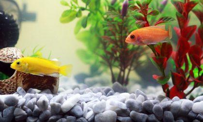 Acquario tropicale in casa o pesci rossi nella boccia