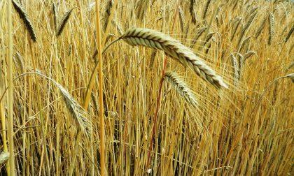 Ricette con la farina di mais, polenta e miascia