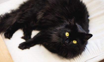 Oggi è la Giornata mondiale del gatto nero: sfortuna o superstizione?