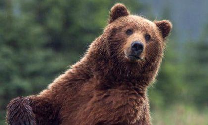 Un orso a Milano per girare uno spot Mercedes, l'allarme di Enpa