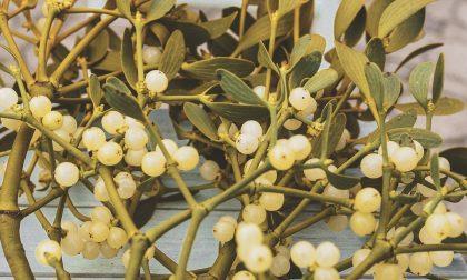 Piante ornamentali di Natale, quali sono e leggende