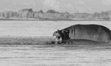 Pensionato milanese morto ucciso da un ippopotamo