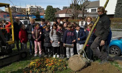Nuovi alberi in piazza San Lorenzo donati da un papà e piantati dagli alunni