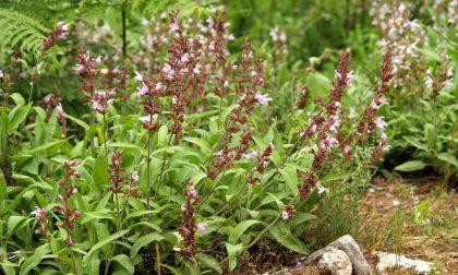 Salvia officinalis e le sue proprietà benefiche