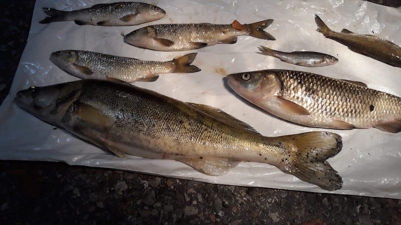 Moria di pesci