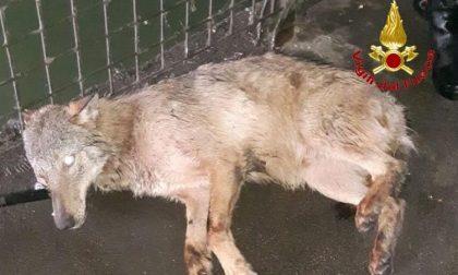 Cane finito nel Naviglio rischia di affogare: salvato dai vigili del fuoco