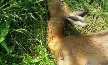 Bracconieri sparano e uccidono un capriolo nel Bosco Wwf
