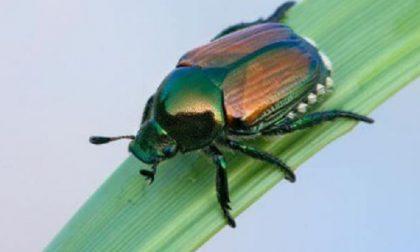 Uno scarabeo colorato sta seminando il panico in orti e giardini