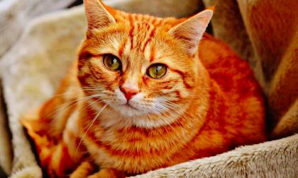 Che cosa è la sterilizzazione sui gatti?