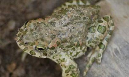 Buone notizie dalla natura: il rospo smeraldino torna a deporre uova FOTO