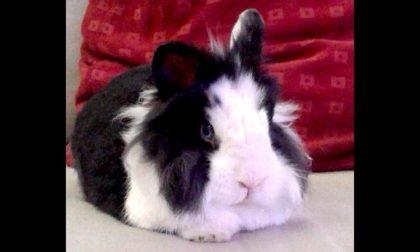 Ciro, il coniglio conteso tra la proprietaria e l'associazione animalista