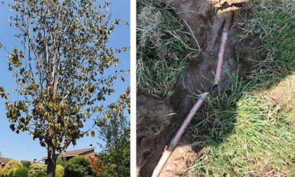 """Tubo dell'acqua tagliato e acido versato per far morire un albero: """"Sabotaggio"""""""