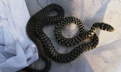 Un serpente biacco trovato nel giardino di casa: la proprietaria lo porta all'Enpa