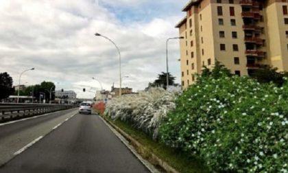 La Nuova Vigevanese cambia faccia: una barriera verde antismog lungo la strada