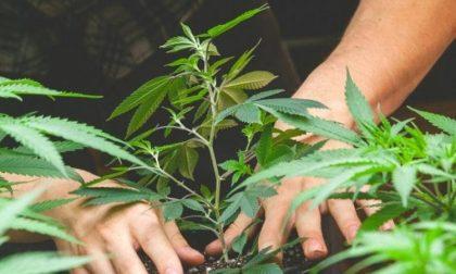 Coltivava in casa marijuana: arrestato ragazzo di 18 anni