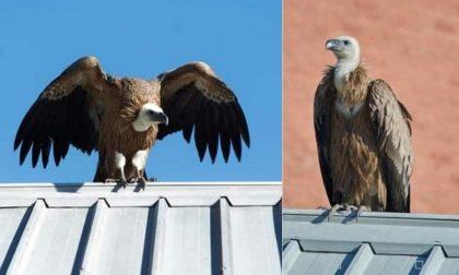 Grifone malato si ferma sui tetti di Pieve: salvato dai vigili del fuoco