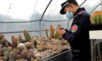 Maxi sequestro di cactus rari estirpati nei deserti di Cile, Messico e Stati Uniti. VIDEO