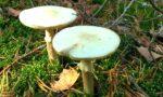 """Avvelenamento da funghi, il sindaco: """"Multe per chi li raccoglie"""""""