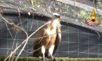 Il grifone recuperato a Pieve torna libero di volare dopo le cure VIDEO