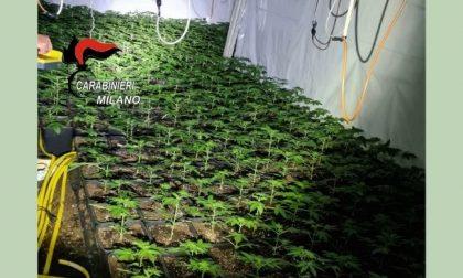 Ruba energia elettrica per coltivare quasi 2mila piante di marijuana: arrestato 20enne