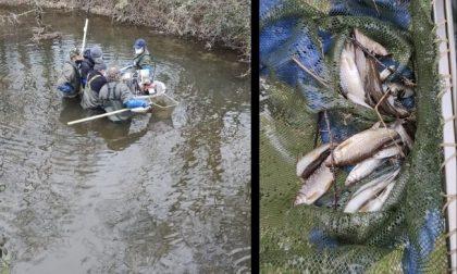 Verso l'asciutta dei Navigli: interventi a salvaguardia della fauna ittica