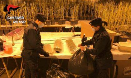 Serra artigianale con 950 piante di marijuana scoperta a Gaggiano