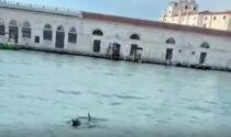 Delfini a Venezia nel Canal Grande: il video e la reazione che commuove