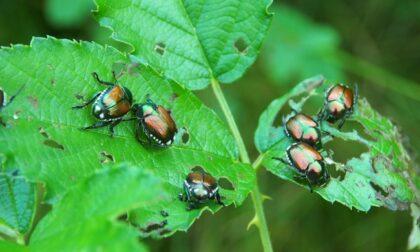 È tornata la Popillia Japonica, il maggiolino infestante che divora le piante