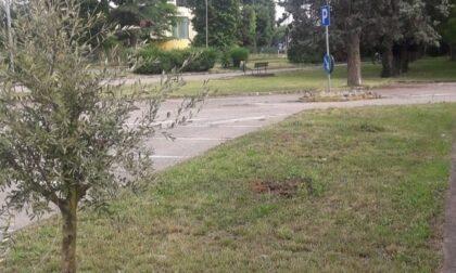 Rubati gli ulivi piantati per ricordare le vittime del covid